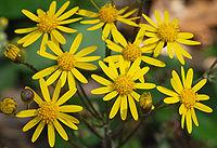Golden Ragwort Senecio aureus Flowers 2616px