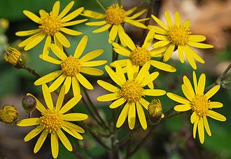 Packera aurea - Image: Golden Ragwort Senecio aureus Flowers 2616px