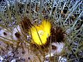 Golden barrel cactus sf.jpg