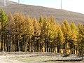 Golden forests at Chongli 崇礼金秋 (8181840542).jpg