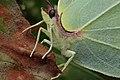 Gonepteryx rhamni (36701154942).jpg