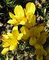 Gorse (Ulex europaeus) (3324971403).jpg