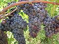 Grappolo d'uva Gaglioppo in Calabria.jpg