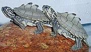 Graptemys nigrinoda hatchlings.jpg