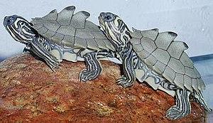 Emydidae - Black-knobbed map turtle