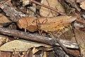 Grasshopper pair (26350204988).jpg