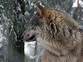 Grauwolf P1130274.jpg