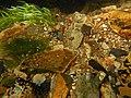 Gravier silex flint nodules fonds de la rivière Les baillons à Enquin 01.jpg