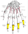 Gray220 - Intermediate phalanges of the hand.png