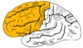 Gray726 frontal lobe.png