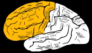 frontallob