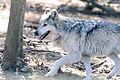 Gray Wolf Running (13882808985).jpg