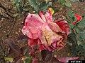 Gray mold (Botrytis cinerea) on Rosa sp-5573591.jpg