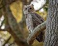 Great Horned Owl (30676214107).jpg