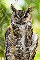 Great Horned Owl (9120906835).jpg