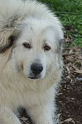 Great Pyrenees portrait.jpg