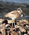 Great Stone-curlew or Great Thick-knee Esacus recurvirostris by Dr. Raju Kasambe DSCN6448 (9).jpg