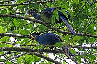 Great blue turaco - pair, Kibale Forest, Uganda