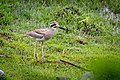 Great thick-knee foraging at morning at Koshi Tappu Wildlife Reserve.jpg