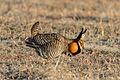 Greater Prairie Chicken (Tympanuchus cupido) (20165036629).jpg