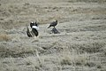 Greater Sage-Grouse (6948210852).jpg