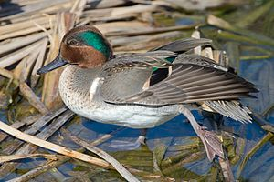 Anas - Green-winged teal, Anas carolinensis