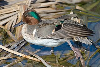 Green-winged teal species of bird