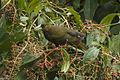 Green Oropendula - Manu NP - Perù 7802 (23806870291).jpg