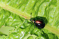 Green dock beetle (Gastrophysa viridula) pregnant female.JPG