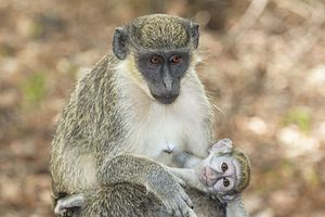Green monkey - Image: Green monkey (Chlorocebus sabaeus) with baby