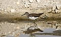 Green sandpiper from Nepal by Krishna.jpg