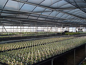 Liners being grown in a greenhouse