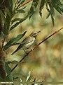Greenish Warbler (Phylloscopus trochiloides) (15708920348).jpg