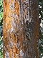 Grevillea robusta - silver oak in Wayanad (4).jpg
