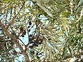 Grevillea robusta leaves and dry seed pods.jpg