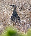 Grey-winged Francolin (Scleroptila afra) (32206311334).jpg