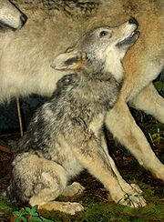 A wolf pup looks up to others in the pack for protection.