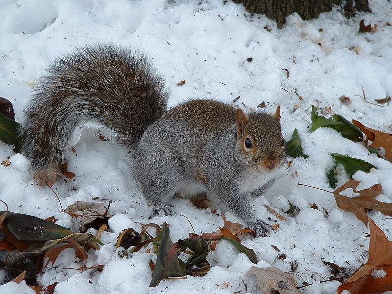 File:Grey squirrel in snow.jpg