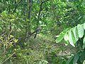 Grey treepie eating insect.jpg