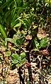 Greyia sutherlandii 05.jpg