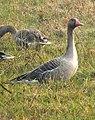 Greylag Goose Anser anser by Dr. Raju Kasambe DSCN7305 (2).jpg