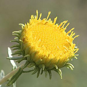 Flower of Grindelia squarrosa, Curlycup Gumpla...