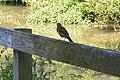 Grive litorne (Turdus pilaris) - 4263.jpg