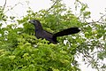 Groove-billed Ani-Sabal Palm Bird Sanctuary-TX - 2015-05-21at11-05-521 (21597924082).jpg