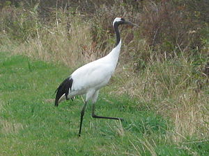 Anbyon Field - The site is important for red-crowned cranes
