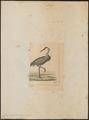 Grus longirostris - 1820-1860 - Print - Iconographia Zoologica - Special Collections University of Amsterdam - UBA01 IZ17300087.tif