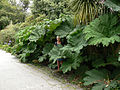 Gunnera on Tresco 2007 - geograph.org.uk - 1571536.jpg