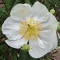 H20130509-8053—Carpenteria californica—RPBG-1 (8760910167).jpg