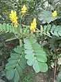 HK Kln Park plant yellow flowers Oct-2012.JPG
