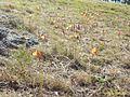 Habranthus tubispathus- Soriano, Palmar, Entre rocas al margen del lago 3.JPG